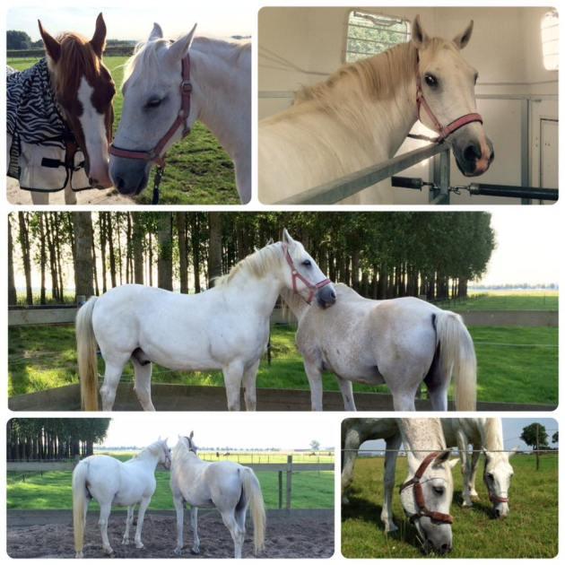 paarden, verhuizen, weiland