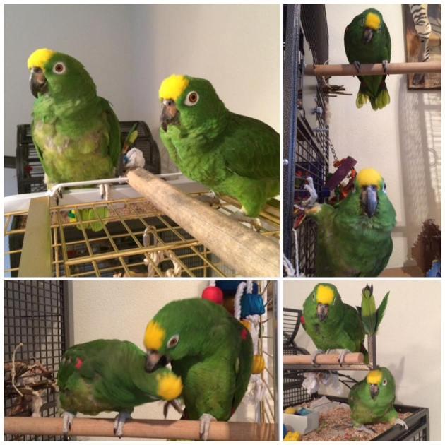 papegaai, Amazone, groene draak