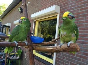 groene draak, amazone, papegaai, cursus