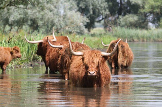 Biesbosch, varen, schotse hooglander, koe