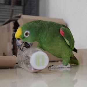 Papegaai speelt met fles. Groene vogel wordt op de foto gezet door Foto Hamar