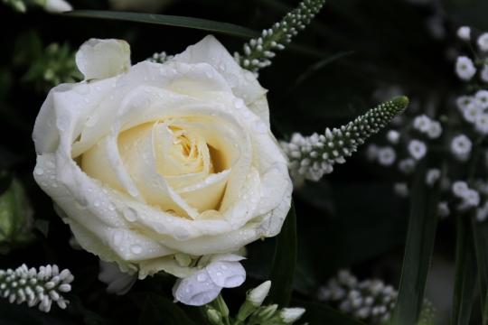 Logo van uitvaartfotografie Hamar, witte roos met dauwdruppels