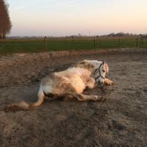 Paard rollen in de zandbak.
