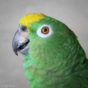 Amazone Papegaai portret van Groene Draak