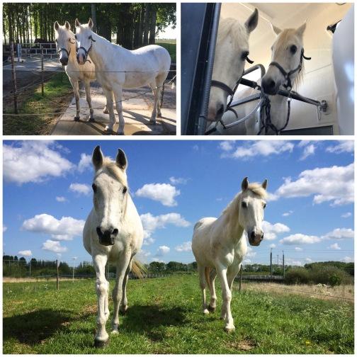 Twee witte paarden