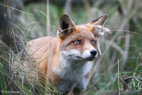 Rode vos kijkt door de bosjes naar iets in de verte