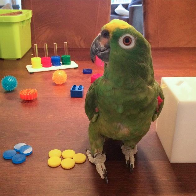 Amazone papegaai is aan het werk met gekleurde fiches