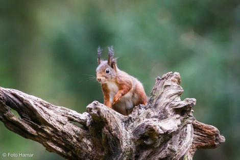 eekhoorn op boomstronk