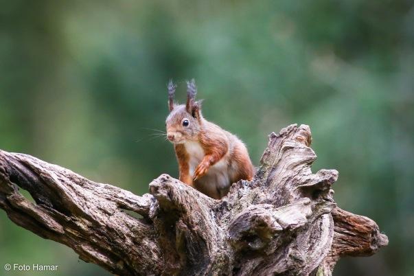 Eekhoren op boomstam