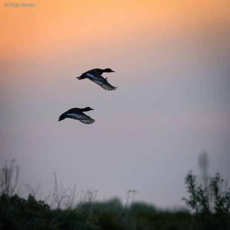 Twee wegvliegende eenden