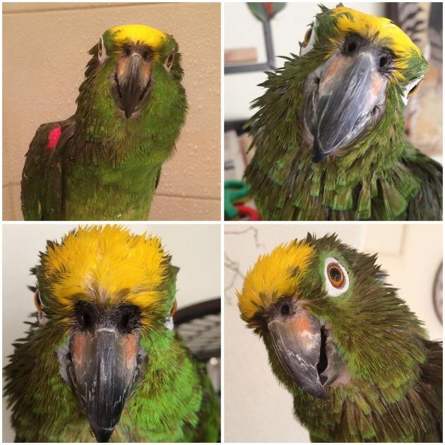 Papegaai met nat hoofd