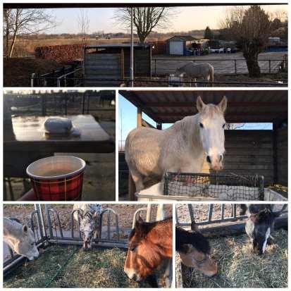 etende paarden aan hooi ruif